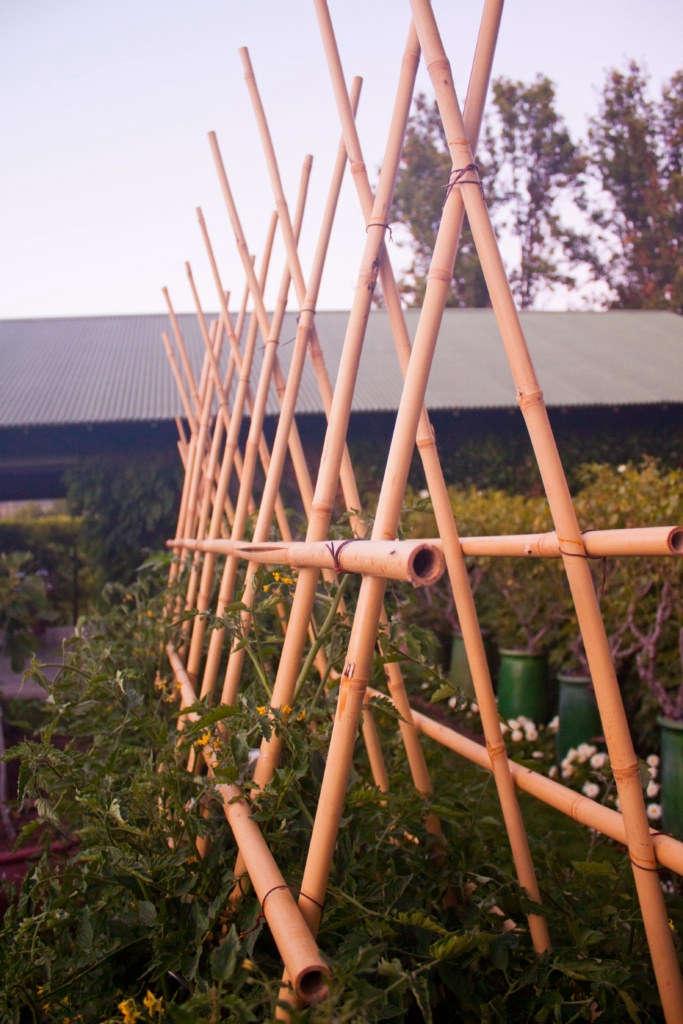 &#8\2\20;Close up of cherry tomato trellis. This trellis holds six cherry tomato plants.&#8\2\2\1;