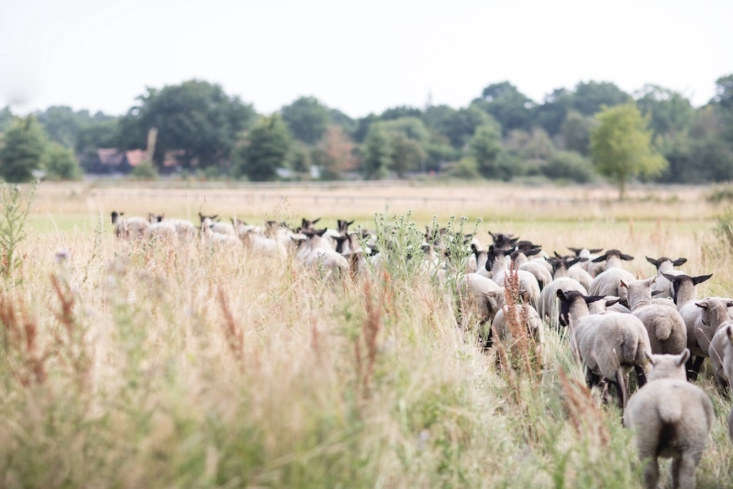 The farm has a herd of 50 Suffolk sheep, as well as 0Rhode Island Red chickens, which are used exclusively for egg laying, and a herd of Jersey cows for dairy.