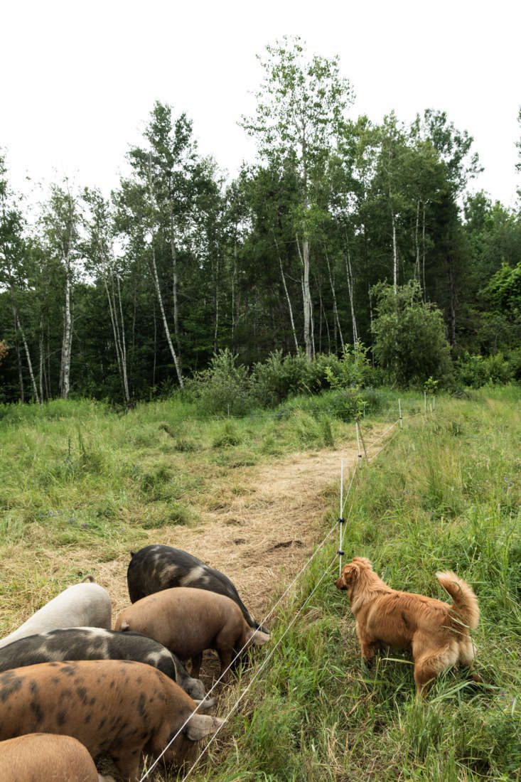Massimo and Sola have free reign and help to keep the pigs in line.