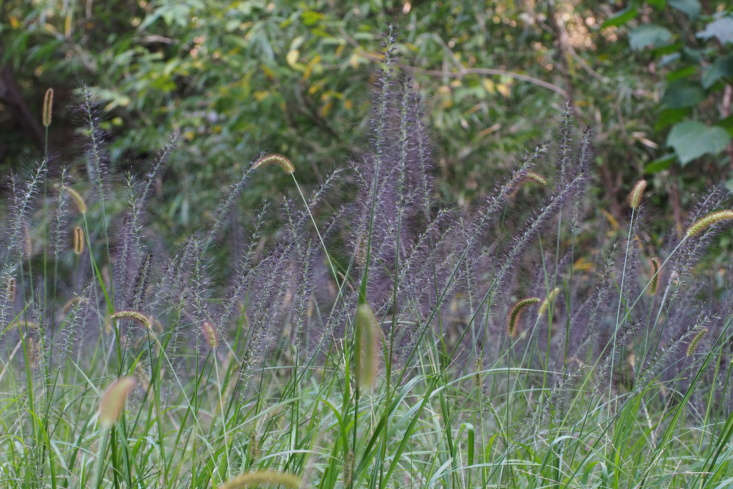 Furry Pennisetum alopecuroides (also known as Chinese fountain grass) has deep purple hairs (which help to broadcast the plant&#8\2\17;s seeds) and creates a hazy drift of color in Osaka. Photograph by Harum.koh via Flickr.
