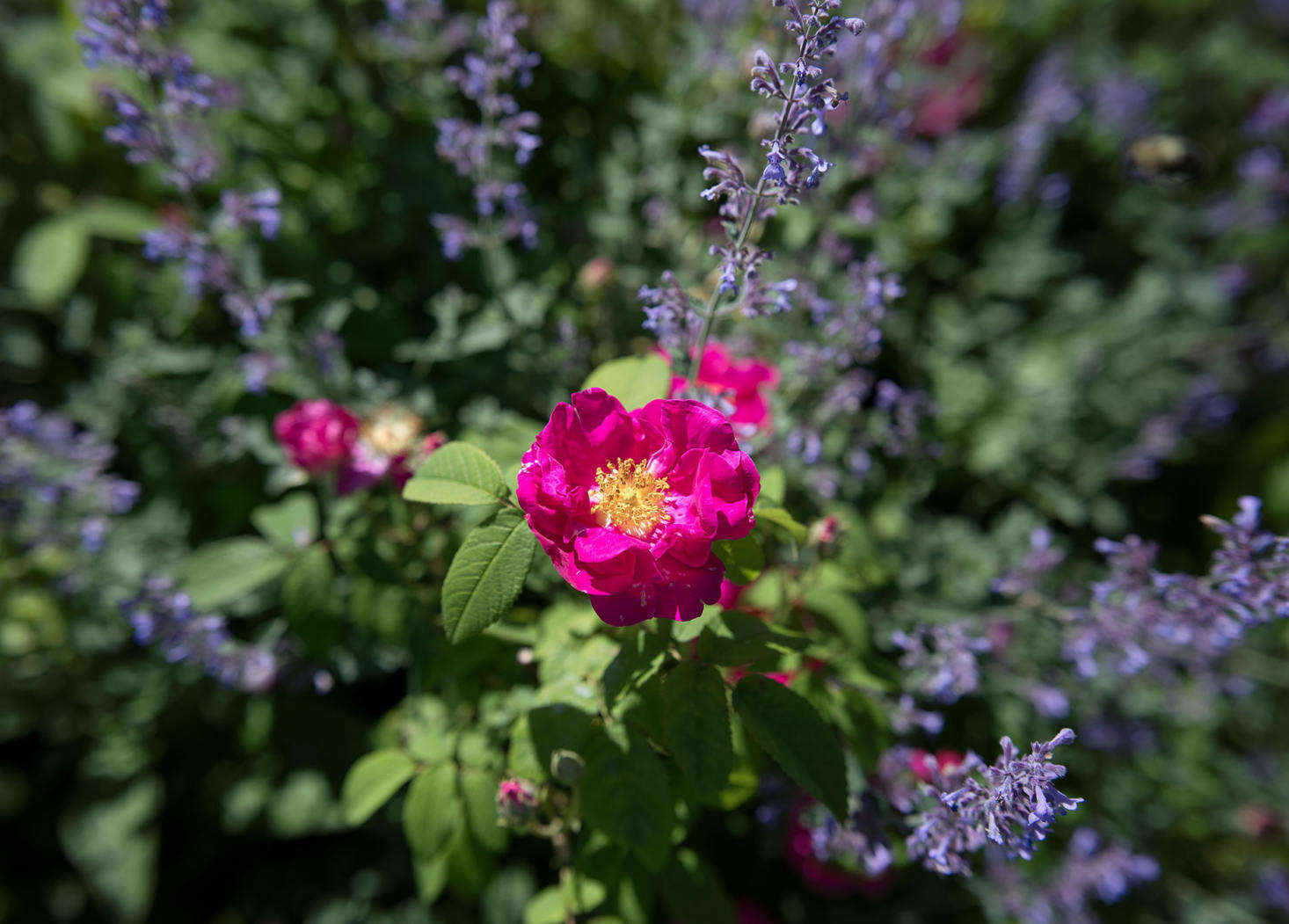 Purple Nepeta 'Six Hills Giant' is a foil for Rosa gallica officinalis (known as the apothecary rose, it is an ancient variety found in medieval gardens). See more in Landscaping Ideas: A Classic Cottage Garden on Cape Cod. Photograph by Justine Hand.