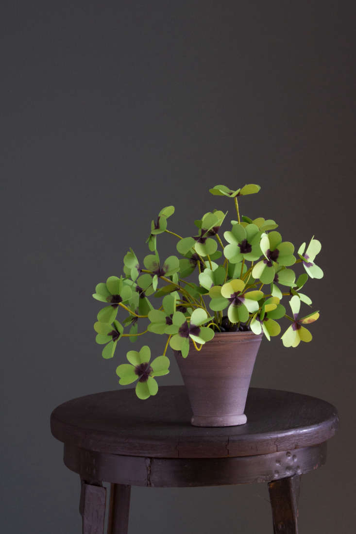 Oxalis tetraphylla&#8\2\16;Iron Cross&#8\2\17; is a classic &#8\2\20;lucky clover.&#8\2\2\1; It will be for sale for \$\145 at GRDN.