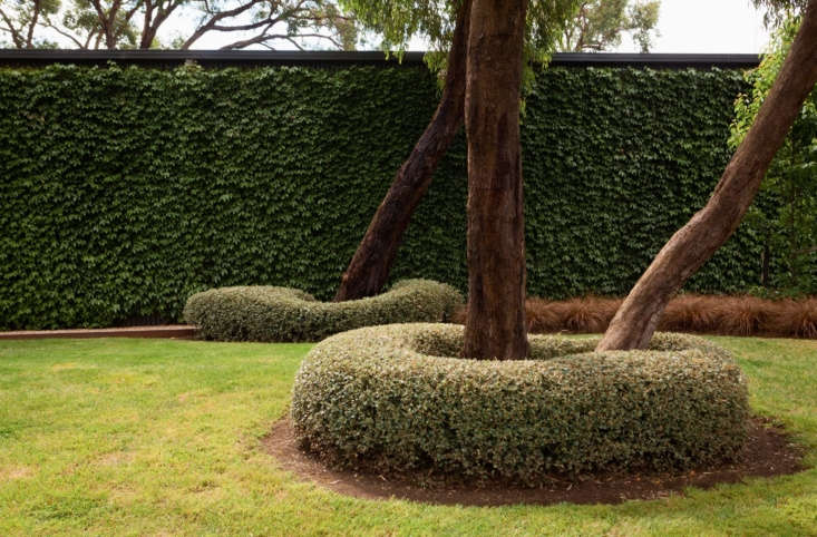 At the base of eucalyptus trees,white correa (Correa alba) is pruned into round (and not-so-round) doughnuts.