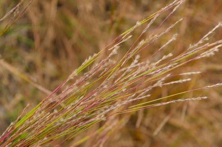 Little bluestem grass grows wild in Wisconsin. Photograph by Joshua Mayer via Flickr.