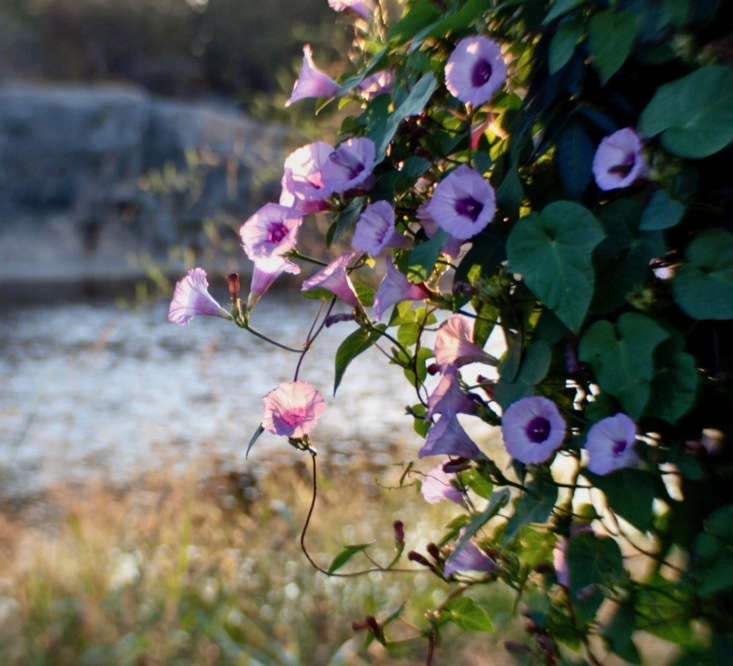 A pink morning glory vine flowers near the river in Blue Hole Park in Georgetown, Texas. Photograph by Anne Worner via Flickr.