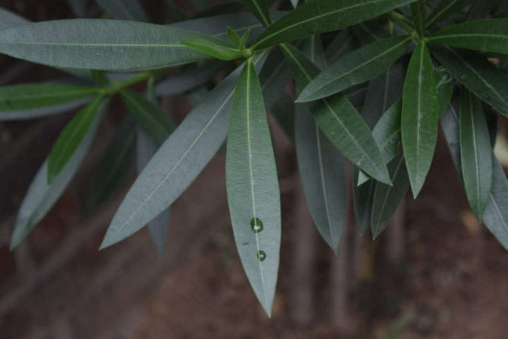 Oleander&#8\2\17;s leaves closely resemble the shape, color, and texture of foliage on olive trees. Photograph by Dalgial via Wikimedia.