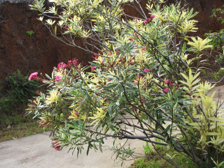 Variegated leaves on a shrubby oleander bush, growing along a roadside on Maui. Photograph by Forest and Kim Starr via Flickr.