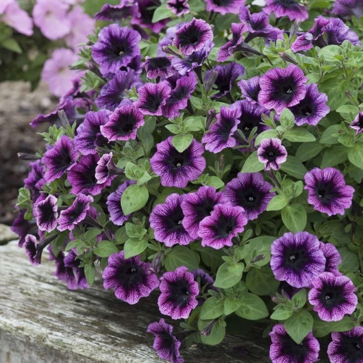 Bred by Kerley & Co in the UK, Petunia &#8
