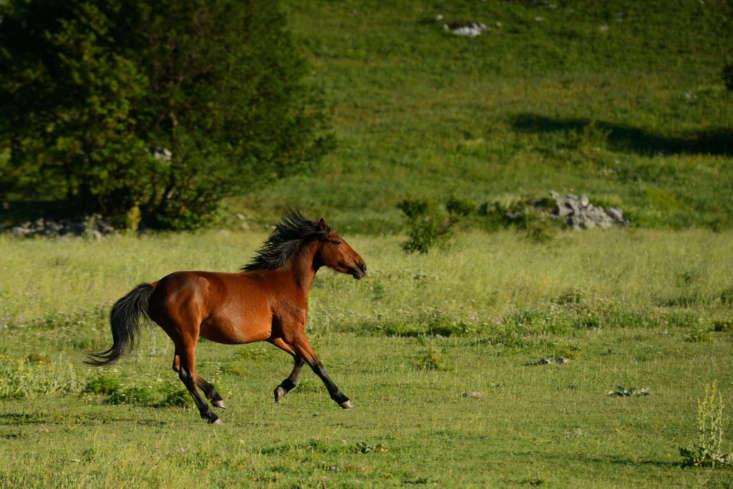 A wild Bosnian mountain horse in Paklenica National Park. Photograph via Rewilding Europe.