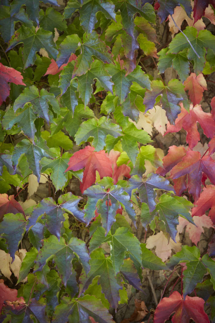 Boston ivy in the fall.