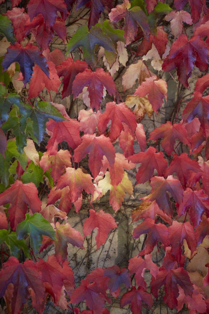 Seasons merge on a wall of Boston ivy.