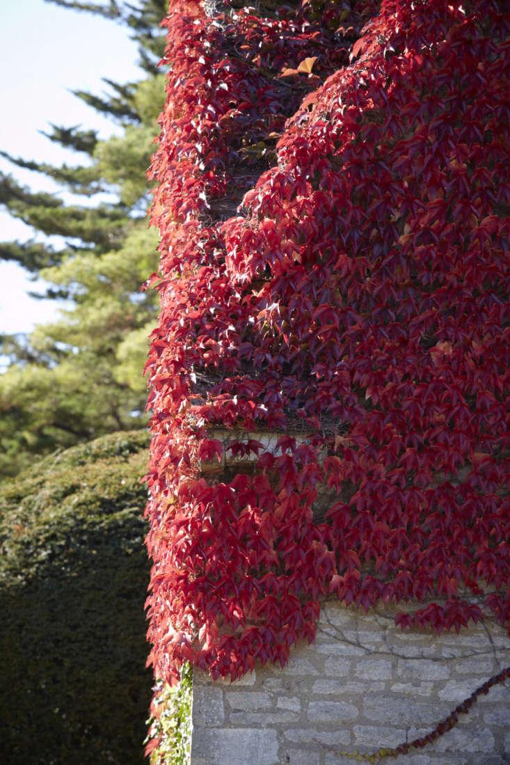 Dark green in summer, Boston ivy turns bronze, then red, then flaming in autumn.