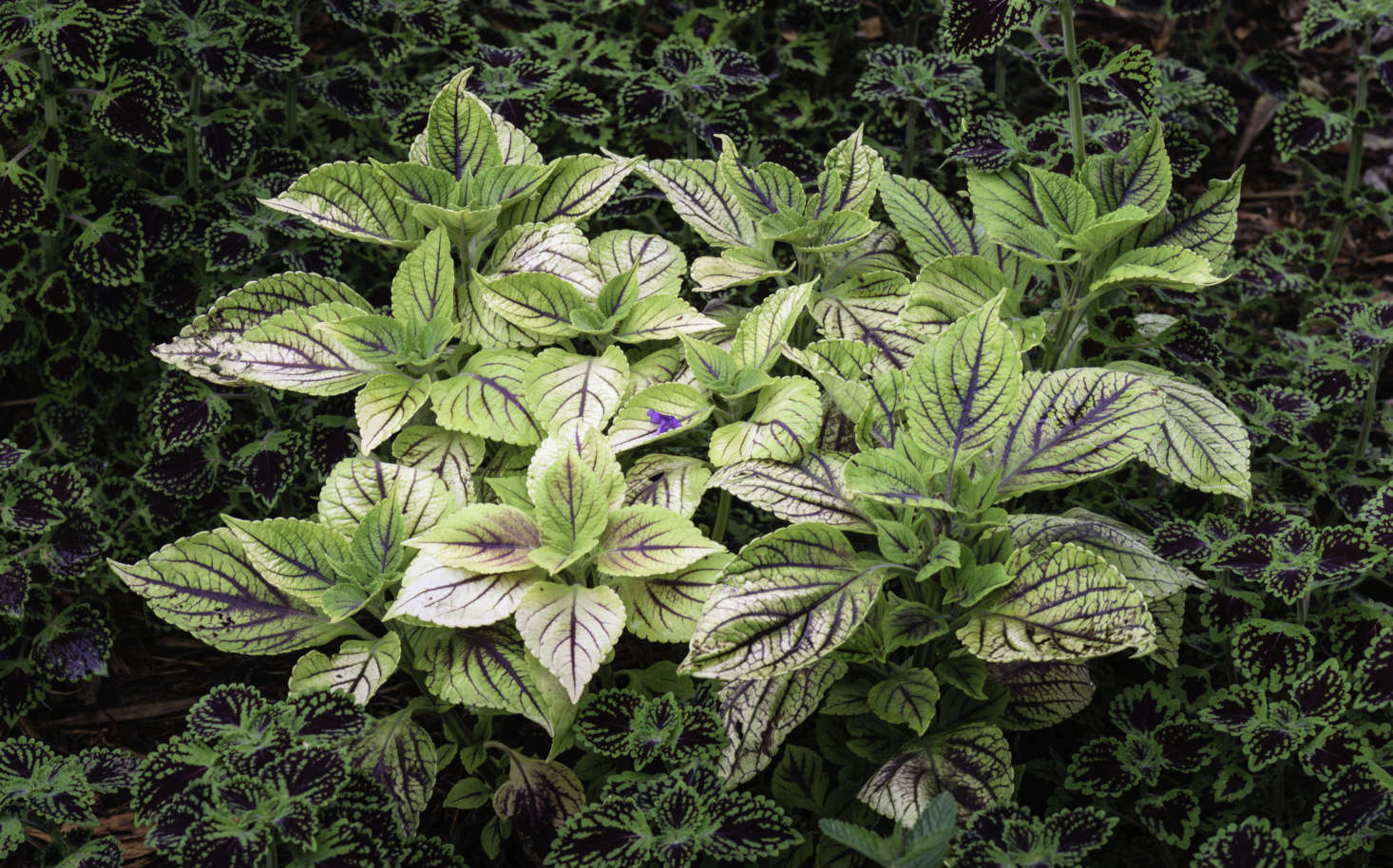 Two varieties of coleus complement each other in coloring and texture. Photograph by Puddin Tain via Flickr.
