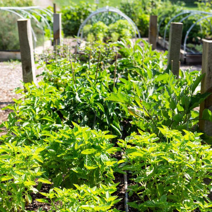 Basil grows in abundance at Cornman Farms.