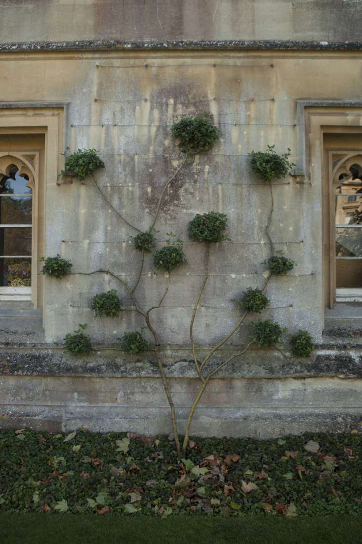 Garrya elliptica (silk-tassel bush) at Magdalen College, Oxford.