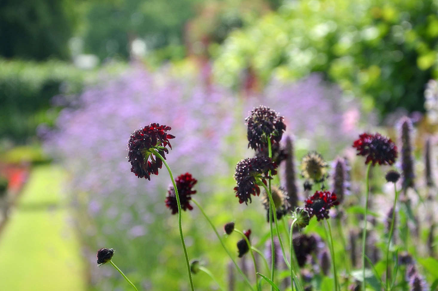 Scabiosa in the sunken garden of Kensington Palace. Photograph by Dun.can via Flickr, from  Garden Ideas to Steal from Meghan Markle and Prince Harry at Home.
