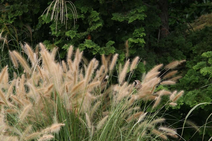 Low-growing Panicum virgatum &#8
