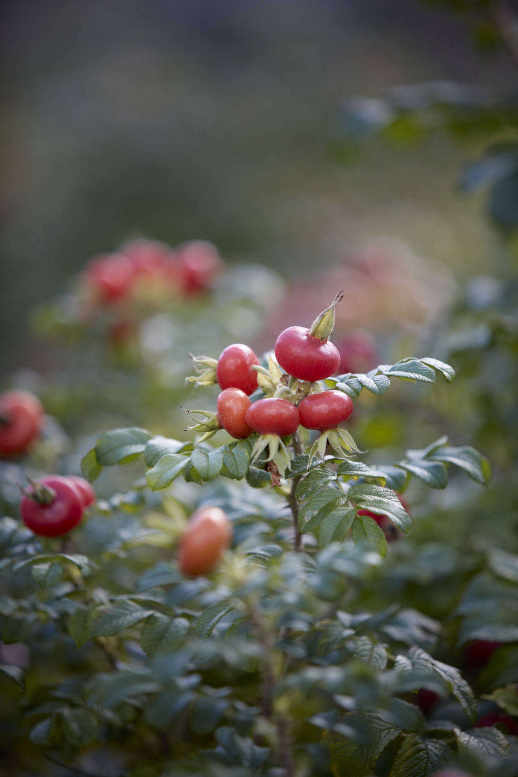 With the size and intensity of color of crabapples, rose hips are one of the joys of fall.