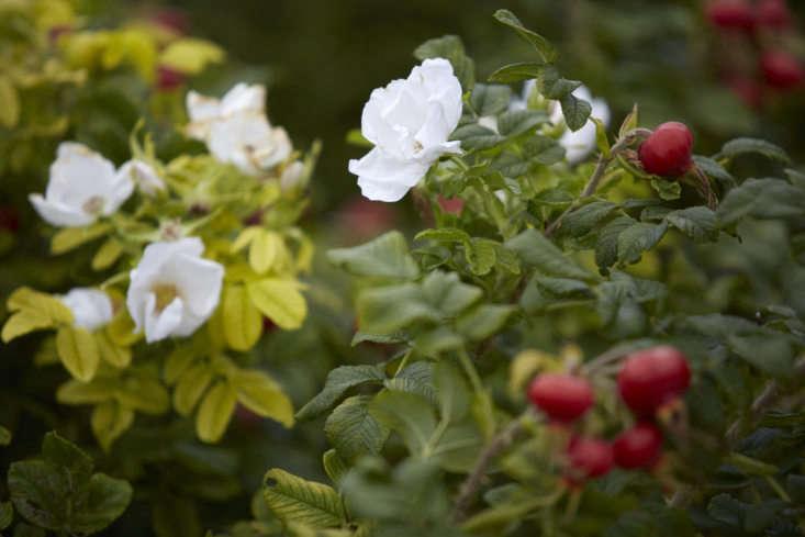 Rosa rugosa &#8\2\16;Alba&#8\2\17; still flowering away in October.