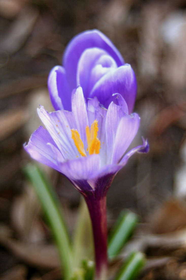 Low-growing crocuses are among the first bulbs to flower in early spring and look like a colorful carpet if you plant the bulbs in a lawn. After the flowers fade, you can mow the foliage along with the turf. Photograph by ChelseaWa via Flickr.