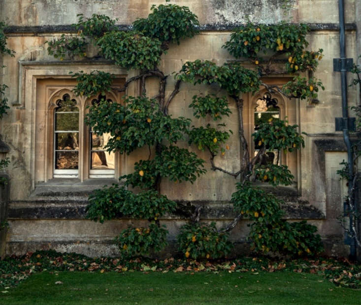 Celastrus orbicalutus trained on the walls of Magdalen College in September, before the leaves turn yellow.