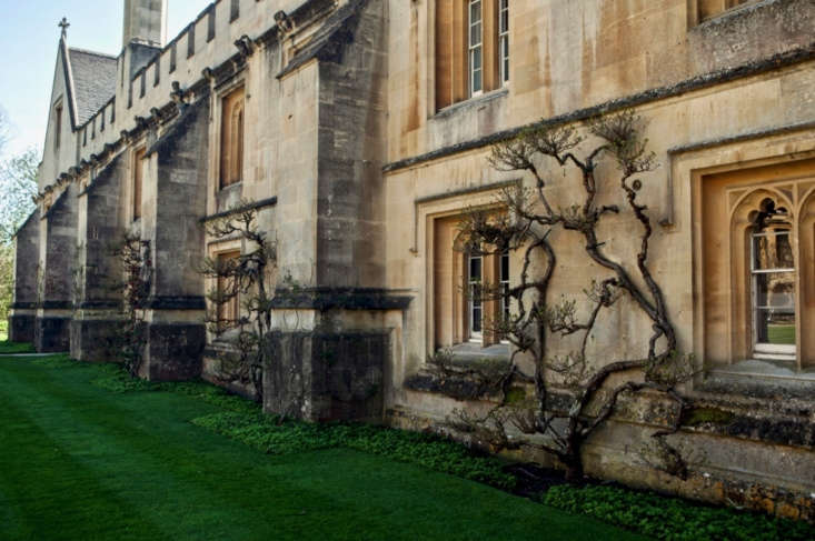A trio of Celastrus orbicalutus trained on the walls of Magdalen College, Oxford.