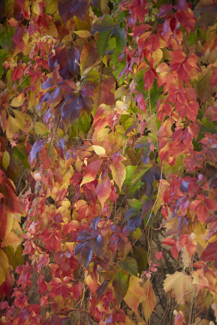 Flaming embers of Virginia creeper in the fall.