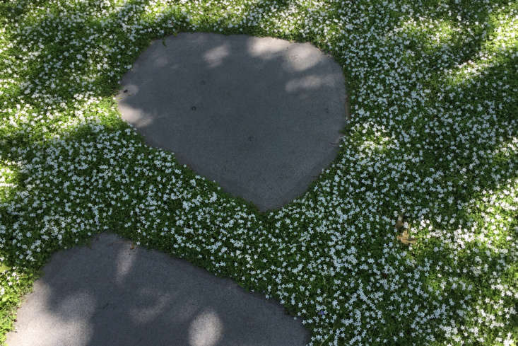 Similar in habit to the ground cover star creeper (which is an Isotoma), Australia native Pratia blooms with an explosion of starry white flowers.