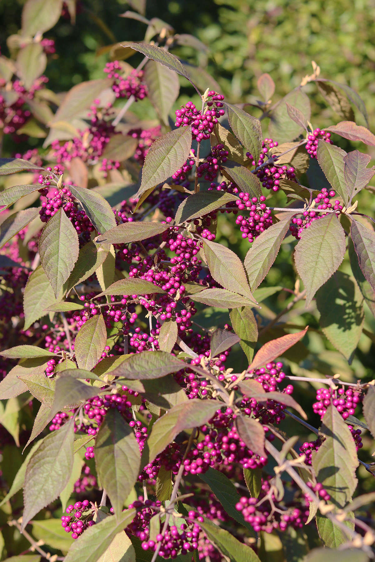 Fruit begins to set in summer while a beautyberry shrub is in full foliage, and gradually turns a bright, neon violet.
