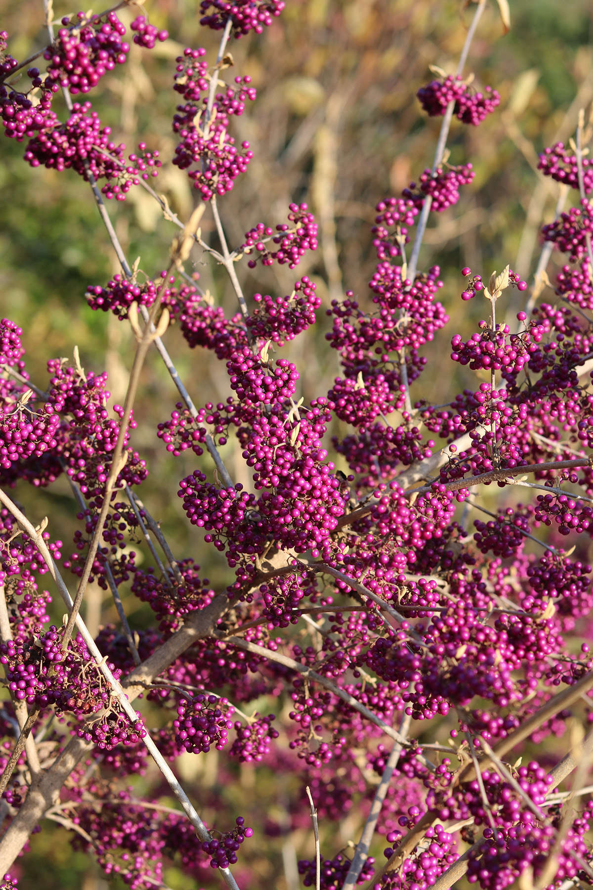 While there are dozens of species of Callicarpa—the genus to which beautyberries belong—the one we recommend planting on its home continent is a North American native, Callicarpa americana.