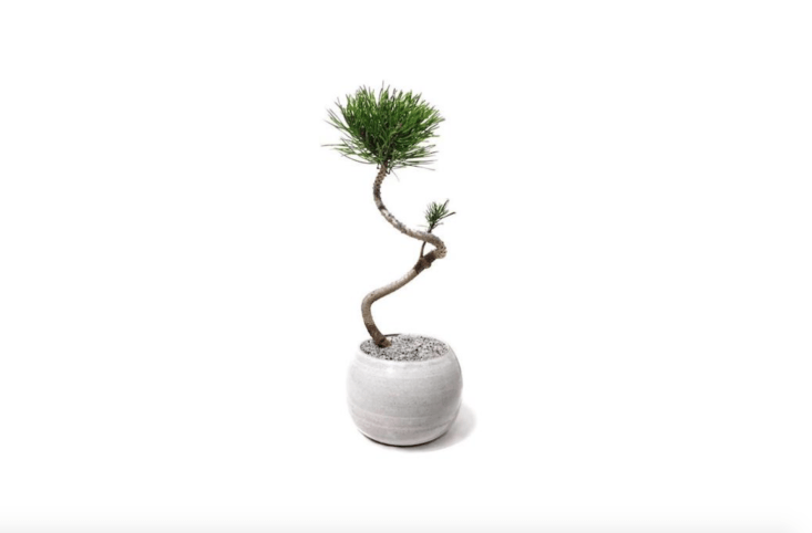 Meet &#8\2\16;Fred&#8\2\17; the Mugo Pine, a potted bonsai tree with a spiral trunk and a penchant for partial sun. Available in three sizes and two planter colors (gray and white), this modern bonsai tree costs from \$\1\20 to \$\195 depending o size at Dandy Farmer.
