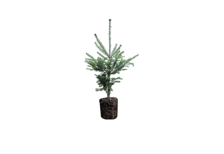 A Balsam Fir Large Tree Seedling is \$\24.99 from the Jonsteen Company.