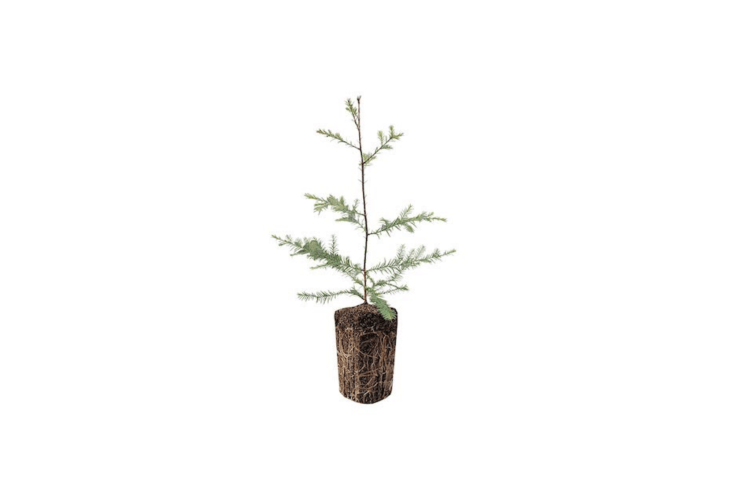 Think carefully about where to plant this tree after the holiday season. Grown from seed in Northern California, a Coast Redwood Live Seedling (Sequoia sempervirens) can at maturity reach a height of more than 386 feet with a trunk diameter of \20 feet. It is \$49.99 from the Jonsteen Company.