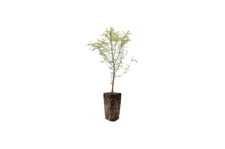 a Montezuma Cypress Tree Seedling was grown without pesticides in Jonsteen&#8\2\17;s nursery on the California coast; \$49.99.