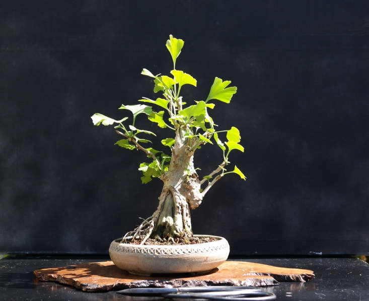 Left to its own devices in the open air, a mature ginkgo tree will grow higher than 0 feet. But this versatile tree also is happy as a bonsai. Photograph by Jerry Norbury via Flickr.