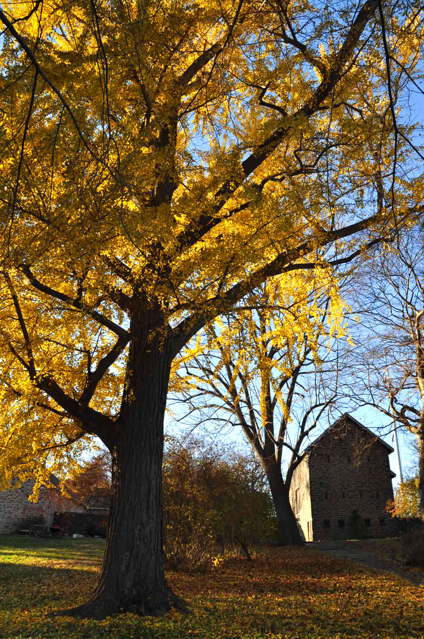 The oldest living ginkgo tree in the United States is in Bartram&#8