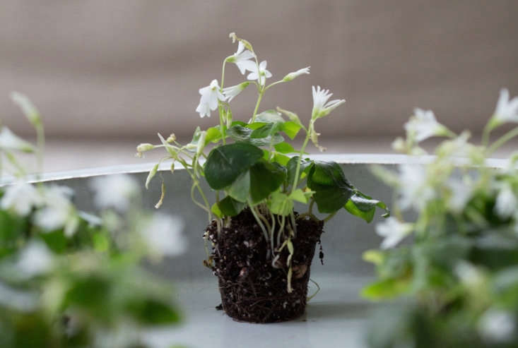 Also known as false shamrock, Oxalis regnellii grows from bulbs and may go dormant in summer. Read more in Gardening \10\1: False Shamrock. Photograph by Mimi Giboin.