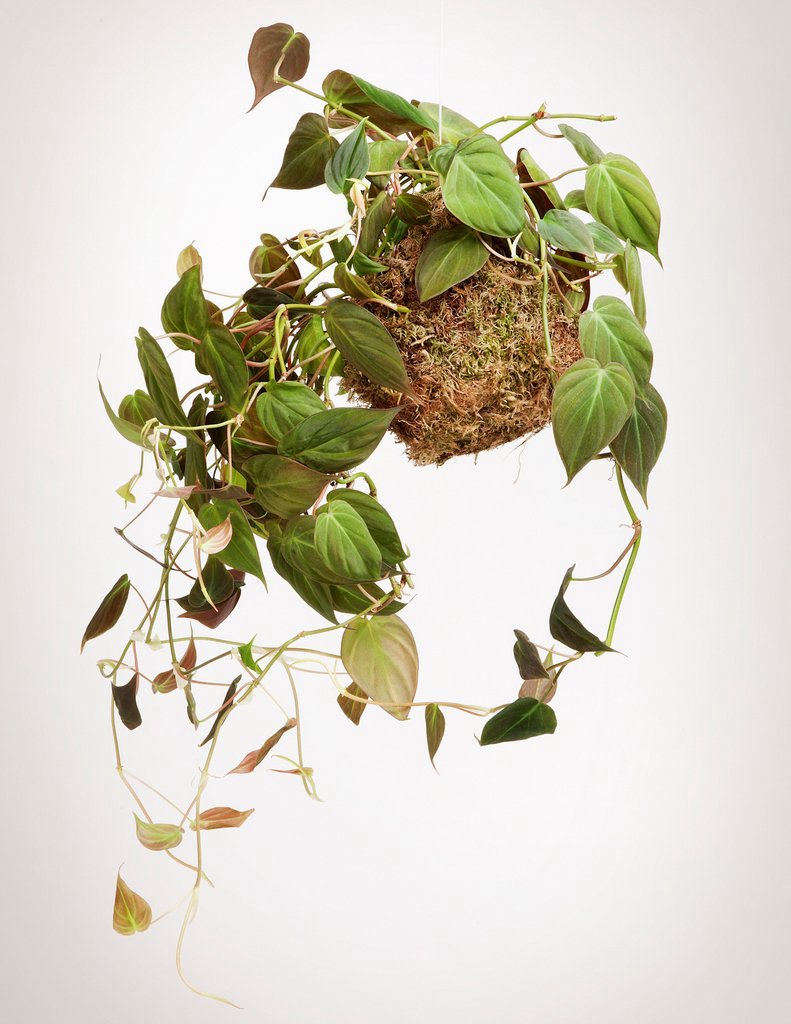 A philodendron trained as a trailing vine, a Vining Kokedama is $36 at Pistils Nursery.