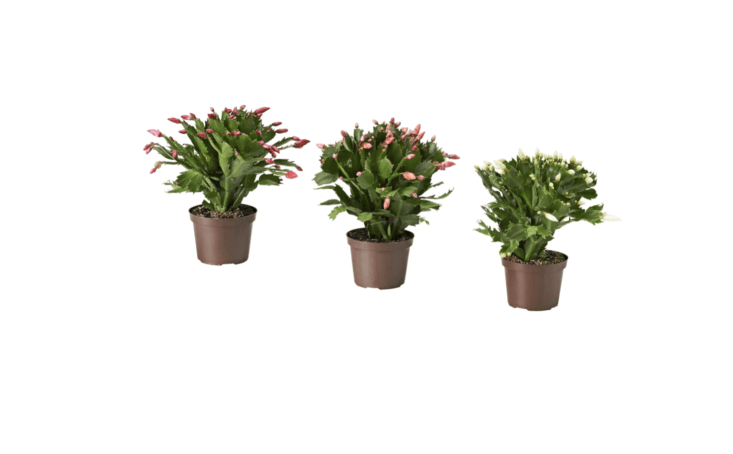 The Ikea collection also includes other flower colors, including pink Christmas cactus plants and salmon-colored Christmas cactus plants.