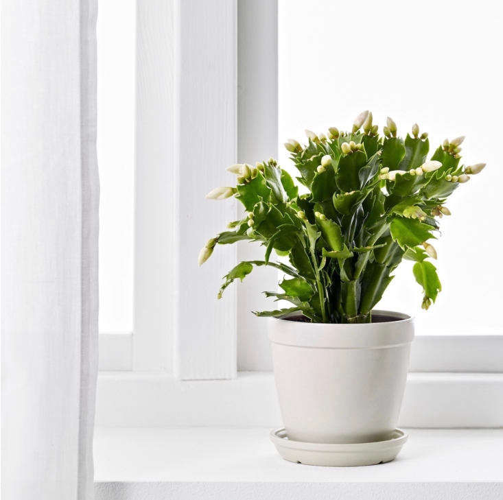Christmas cactus is a succulent plant that hails from tropical climes. Native to Brazil, it enjoys sitting on a windowsill in bright light (but needs cool temperatures and darkness at night to stimulate it to bloom). Read more growing tips in Christmas Cactus: A Field Guide to Planting, Care & Design. Photograph via Ikea.