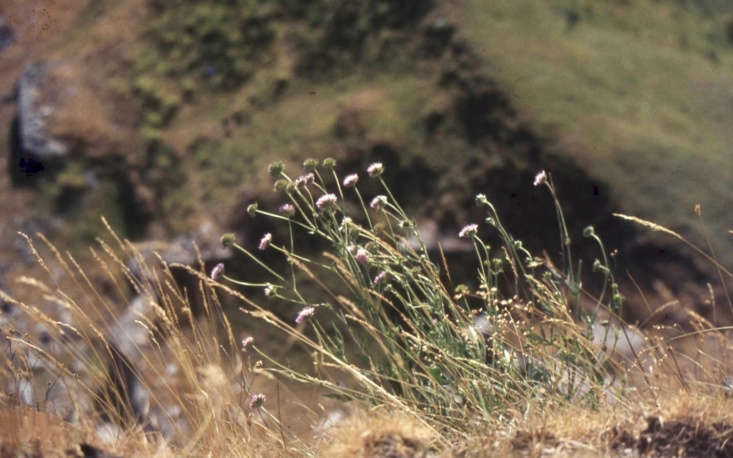 Quaking grass intermingles with scabious (Knautia arvensis) in Wales. Photograph by Dr. Mary Gilham Archive Project via Flickr.