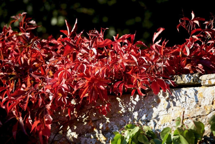 Virginia creeper in full autumn color drapes luxuriously over a stone wall at the Rousham estate in the English Cotswolds.