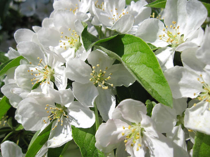 Disease-resistant crabapples whose flowers are pure white include the columnar &#8