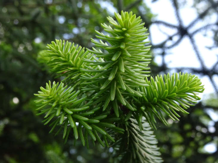 Abies pinsapo (the Spanish fir tree) is native to Mediterranean regions including southern Spain and Morocco. Photograph by Olive Titus via Flickr.