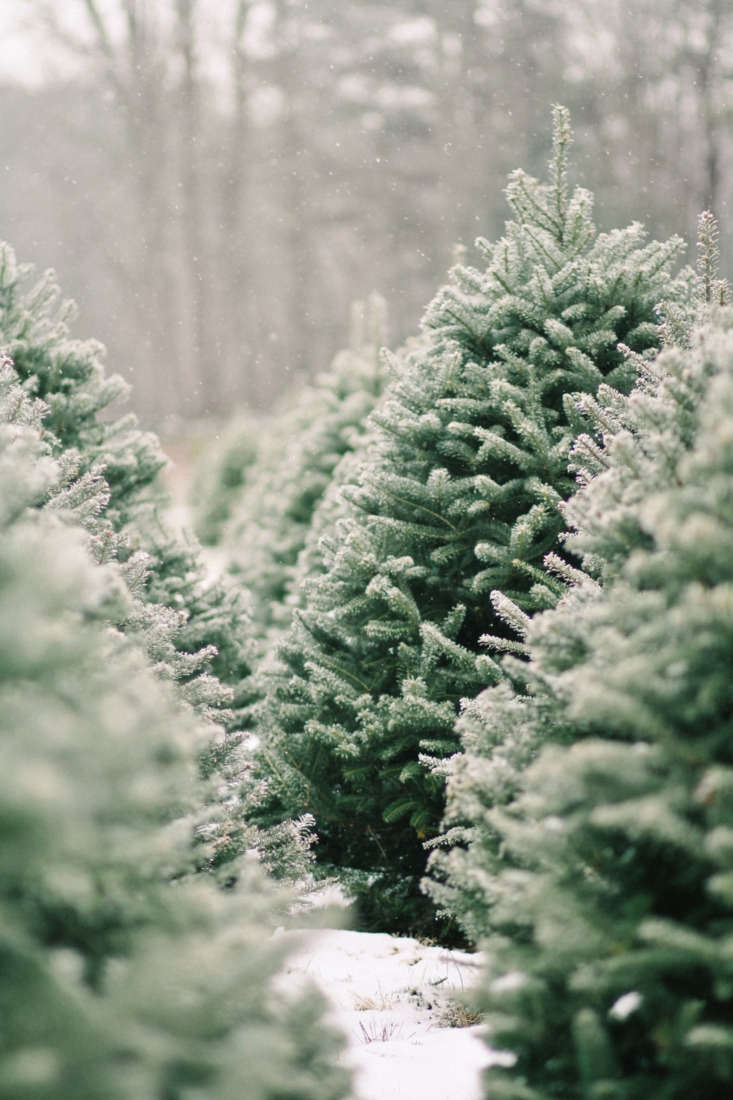 Balsam firs are often grown as Christmas trees. See more in Shopper's Diary: A Christmas Tree Farm in Maine. Photograph by Justina Bilodeau.