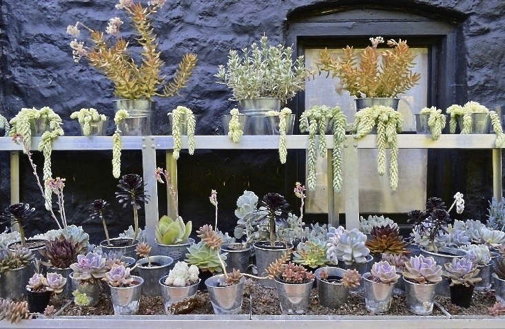 See more of this collection of succulents at Steal This Look: An Indoor Succulent Garden, Shiny Shelving Included. Photograph by Fiona Gilsenan.