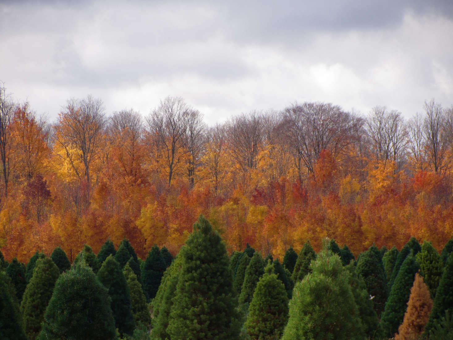 A Christmas tree farm in northern Michigan. Photograph by Rachel Kramer via Flickr, from Gardening src=