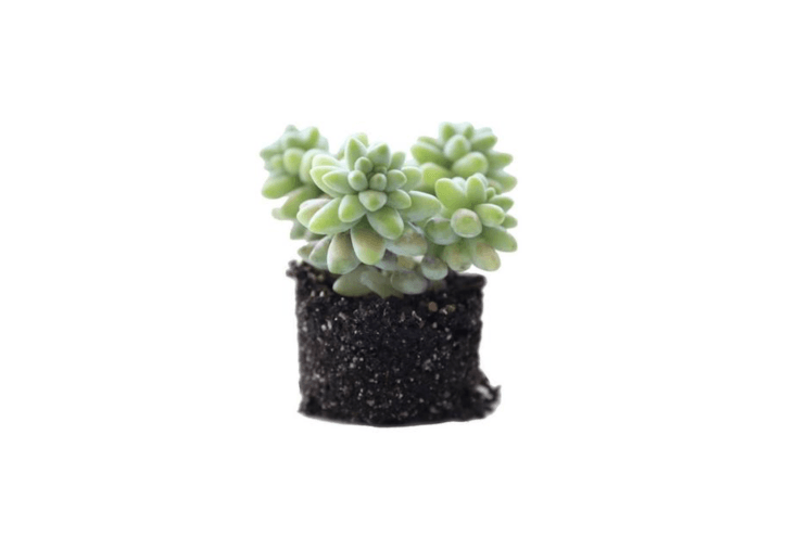A \2.5-inch Donkey&#8\2\17;s Tail Succulent is \$3.50 from Pigment.