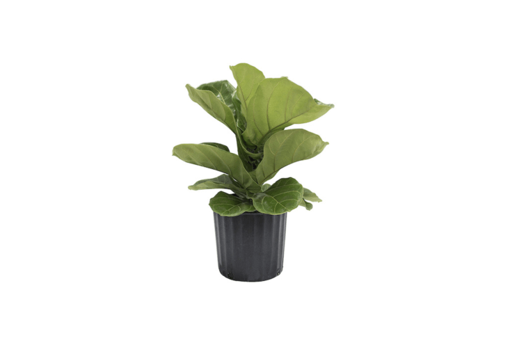 From Costa Farms, a live \2-to-3-foot-tall Fiddle Leaf Fig Tree (Ficus lyrata) ships in an 8.75-inch black grower&#8\2\17;s pot from Amazon.
