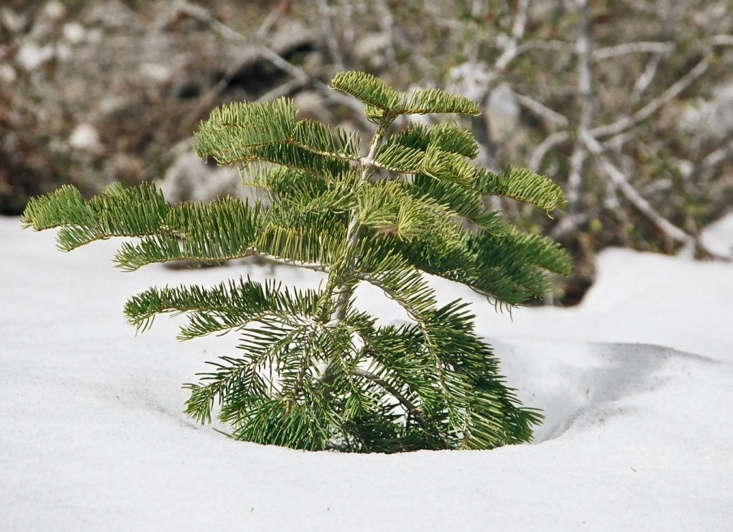A baby white fir (Abies concolor) braves the snow on Mount Whitney in California. Photograph by Geographer via Wikimedia.